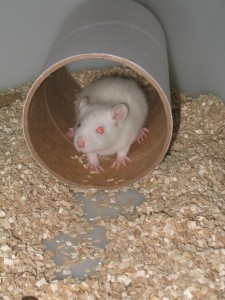 Picture of a white rat in a laboratory