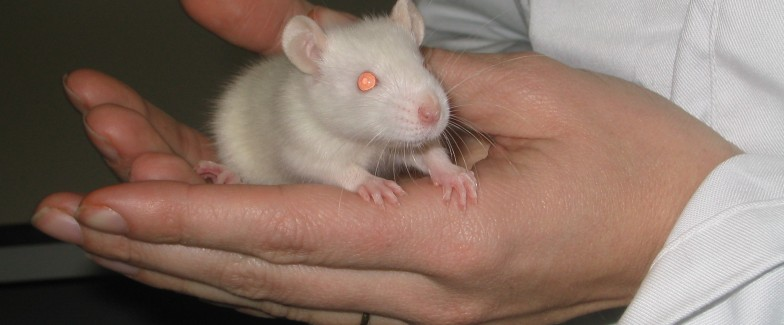 Picture of a scientiest holding a white rat in a laboratory