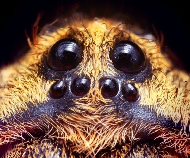 Close up of spider's eyes