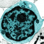 Picture of a Lymphocyte